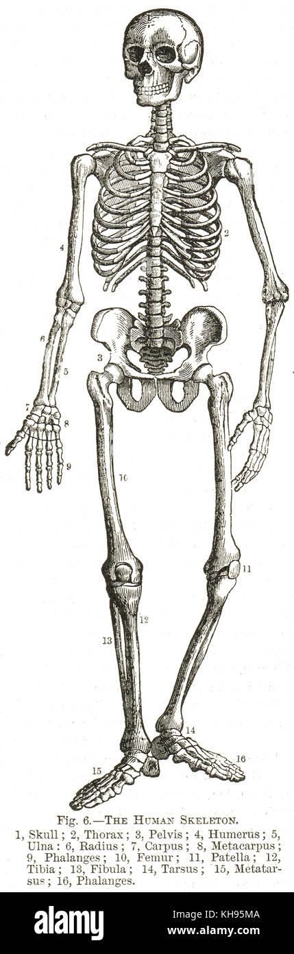 Schön Menschliches Skelett Diagramm Für Kinder Zeitgenössisch ...