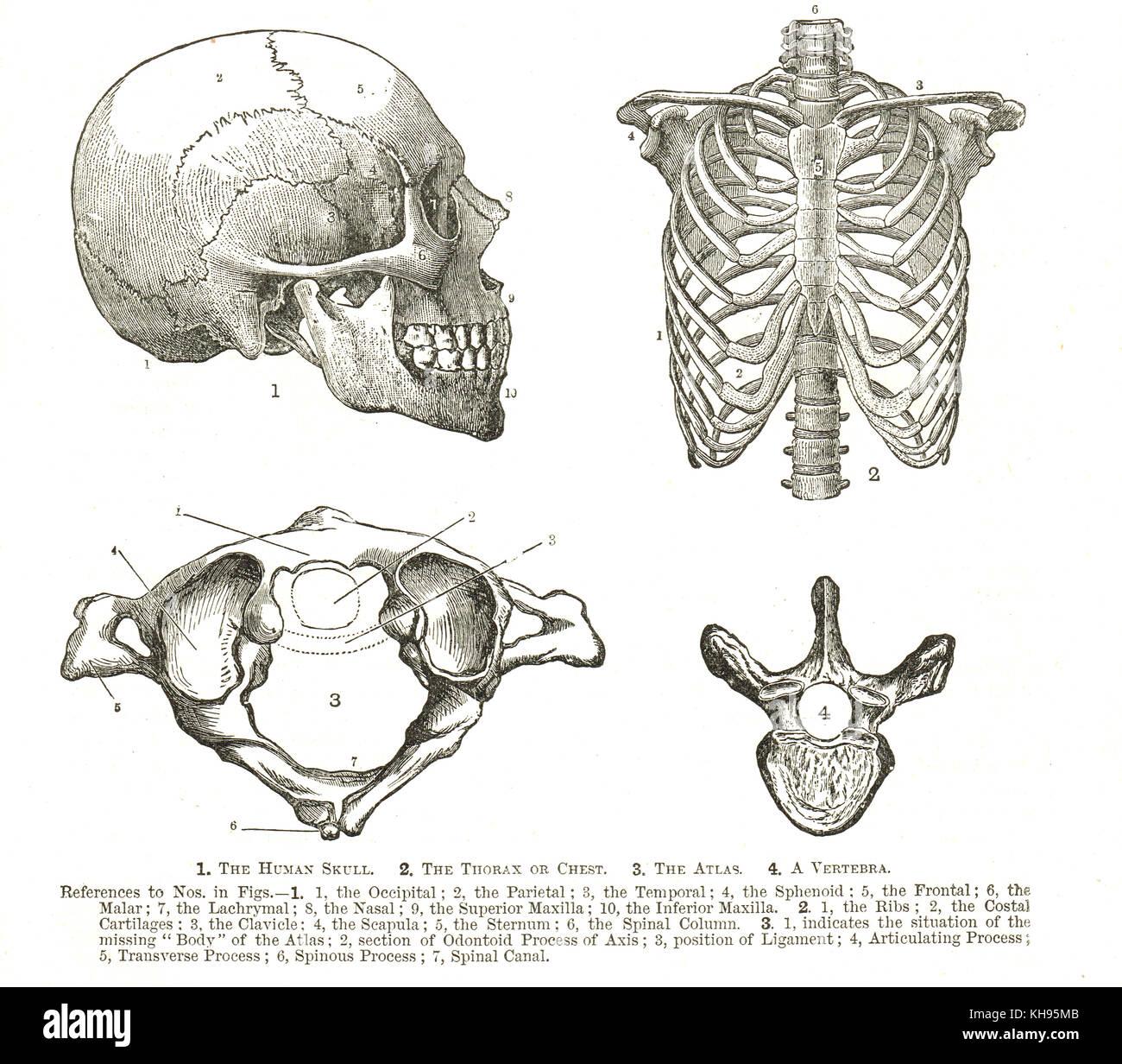 Der menschlichen Anatomie, 19 Diagramme, menschlicher Schädel ...