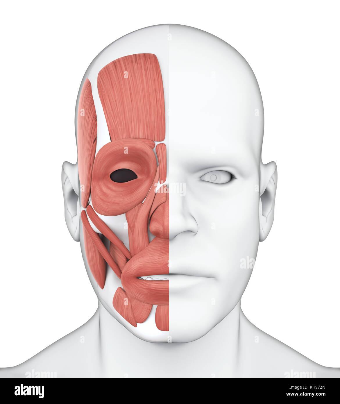 Die gesichtsmuskeln Anatomie Stockfoto, Bild: 165545597 - Alamy