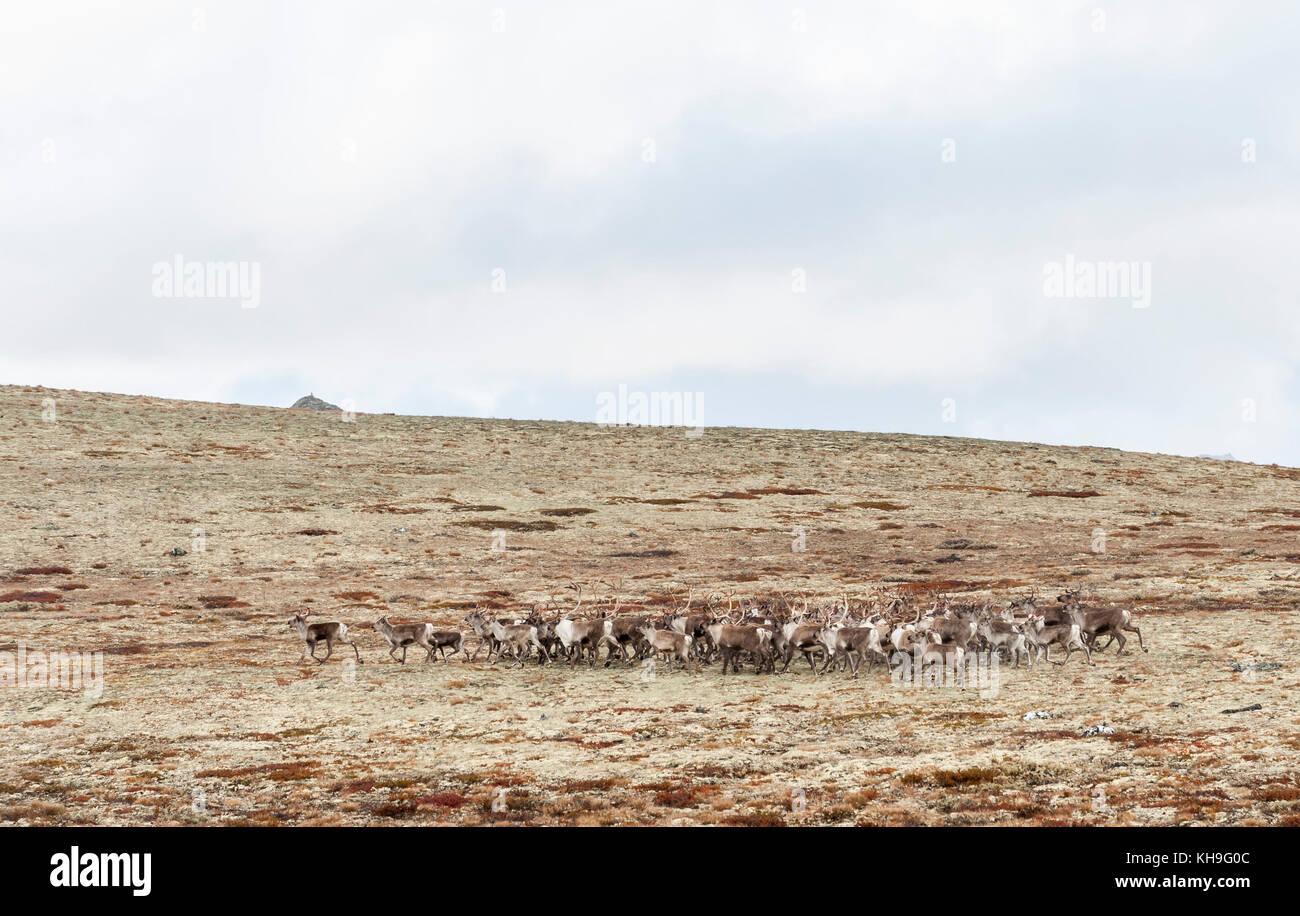 Herde von wilden Rentier (Rangifer tarandus). rondane, Norwegen. Stockbild