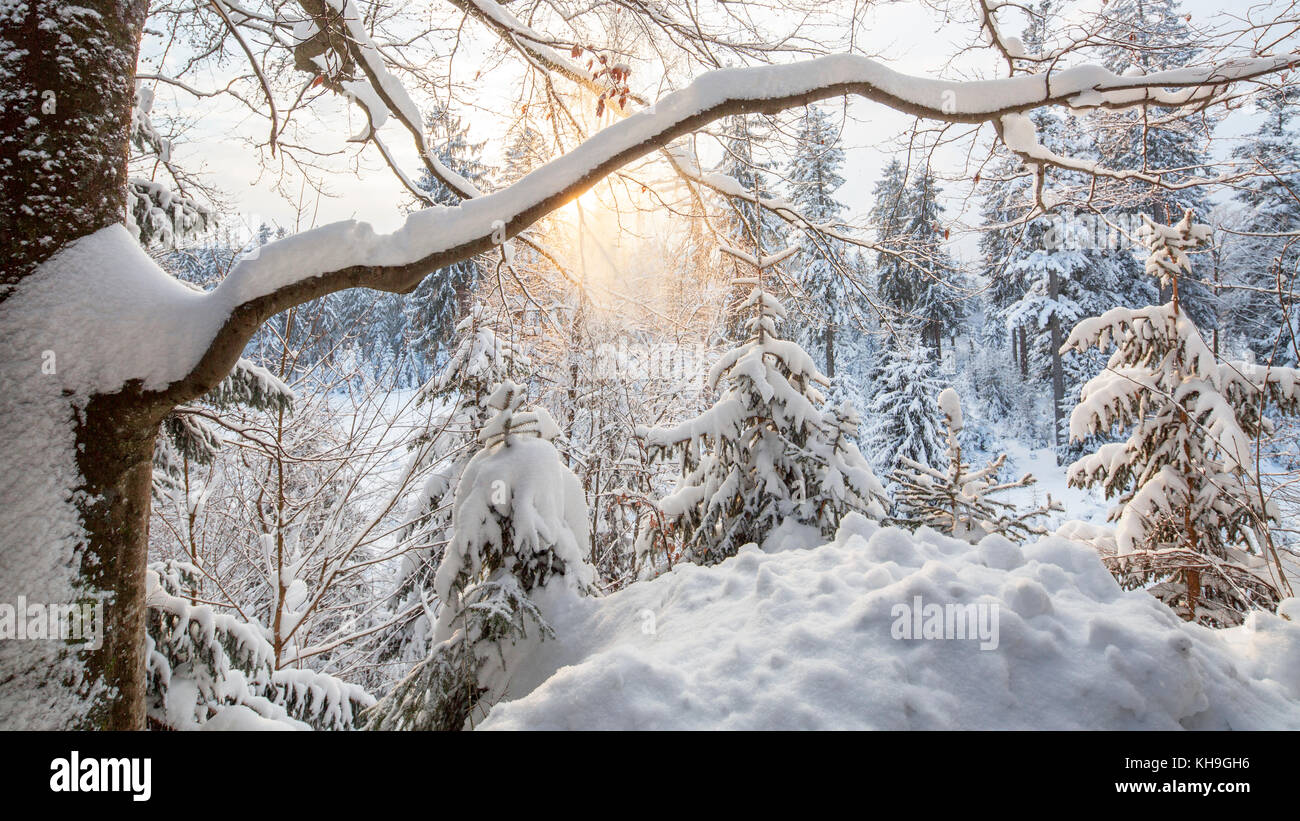Zweig der Buche (Fagus sylvatica), beladen mit Schnee nach Schneefall im Mischwald im Winter Stockbild