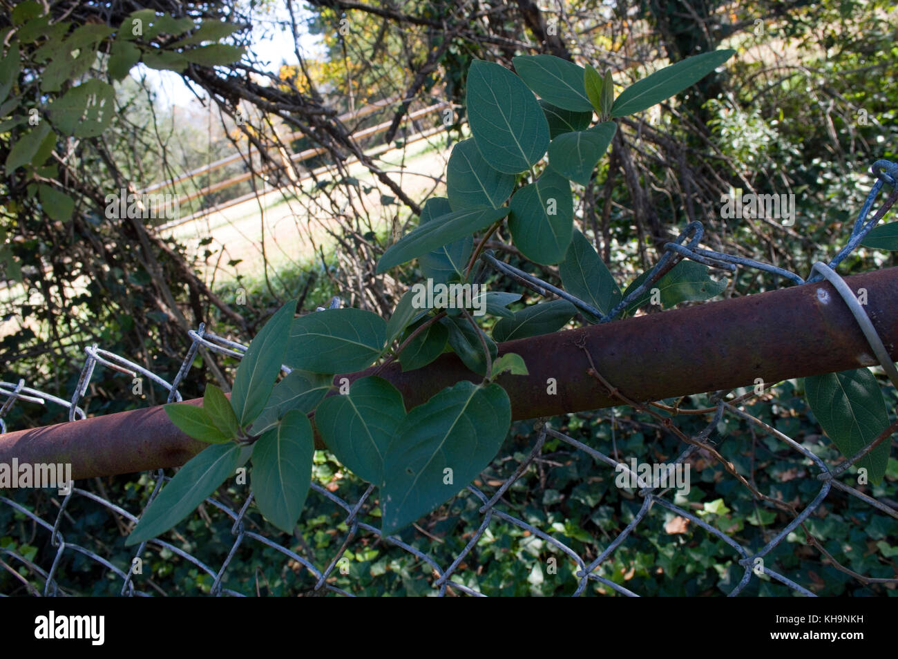 Rostiger Zaun Efeu Stockfoto Bild 165557045 Alamy