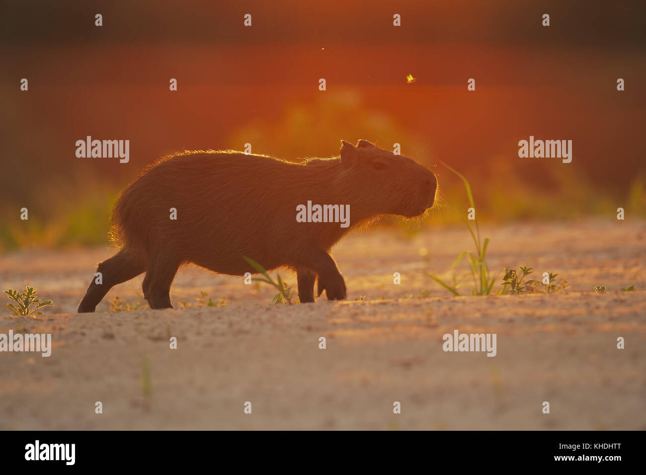 Capibara-pfad begehen bei Sonnenuntergang Stockbild
