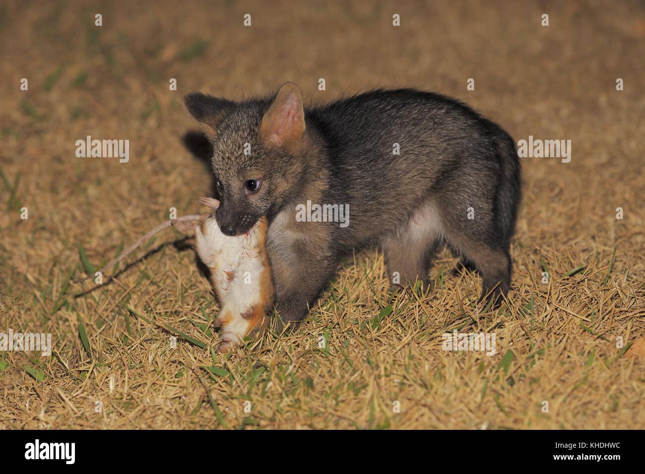 Baby Krabbe - Esser Fox Stockbild