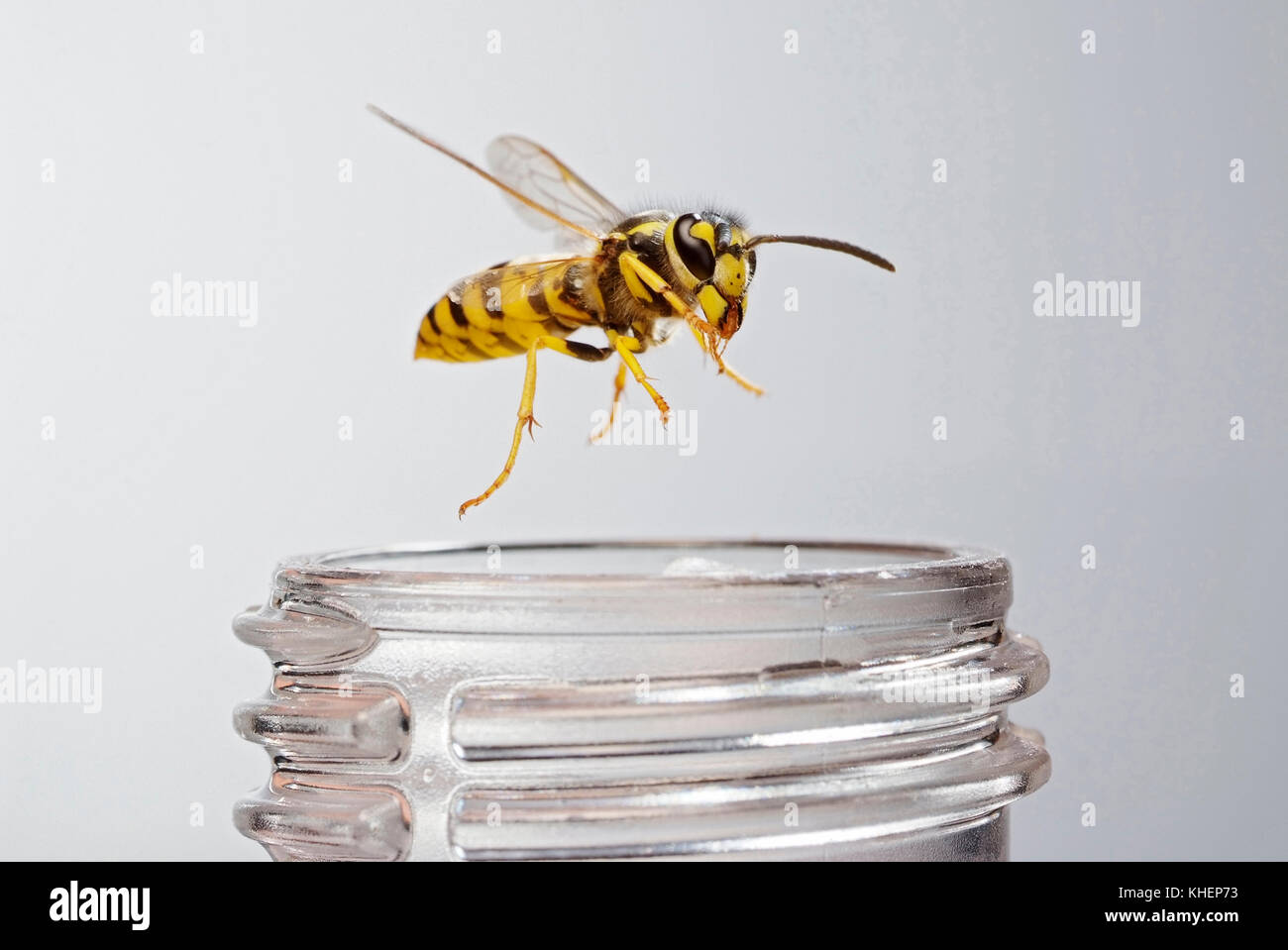 deutsche wespe vespula germanica auf eine limonade flasche im flug deutschland stockfoto. Black Bedroom Furniture Sets. Home Design Ideas