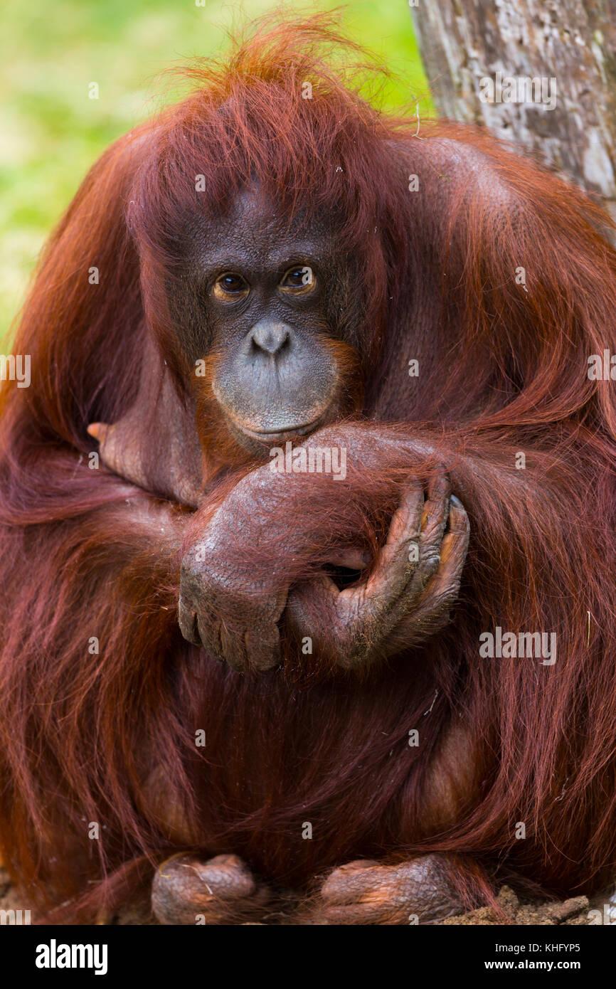 Porträt einer Bornesischen Orang-utan (Pongo pygmaeus). Stockbild
