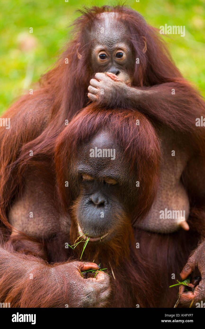 Ein Bornesischen Orang-utan (Pongo pygmaeus) mit seinem Kind Stockbild