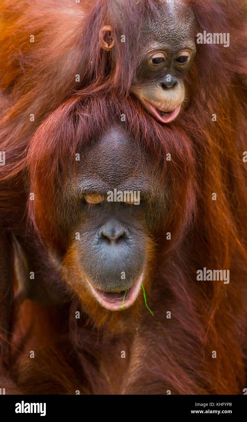 Bornesischen Orang-utan (Pongo pygmaeus) Stockbild