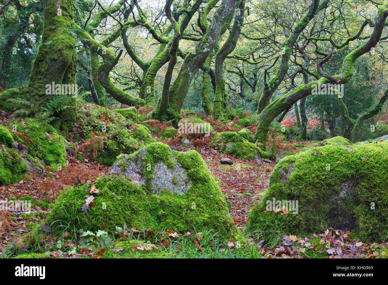 Moos bedeckt Bäume in Dewerstone Holz, Devon Stockbild