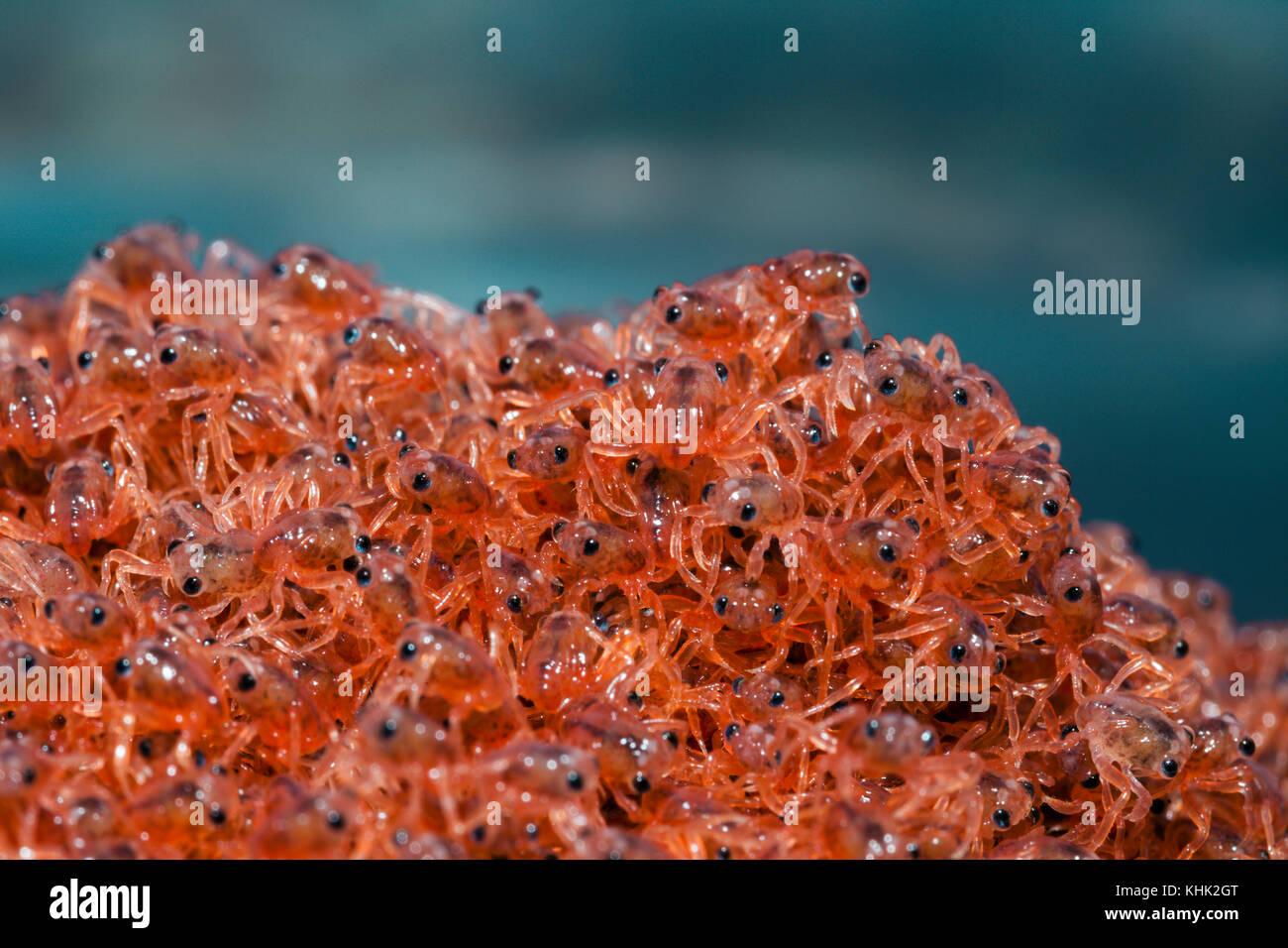 Kinder Krabben wieder an Land, Gecarcoidea natalis, Christmas Island, Australien Stockbild