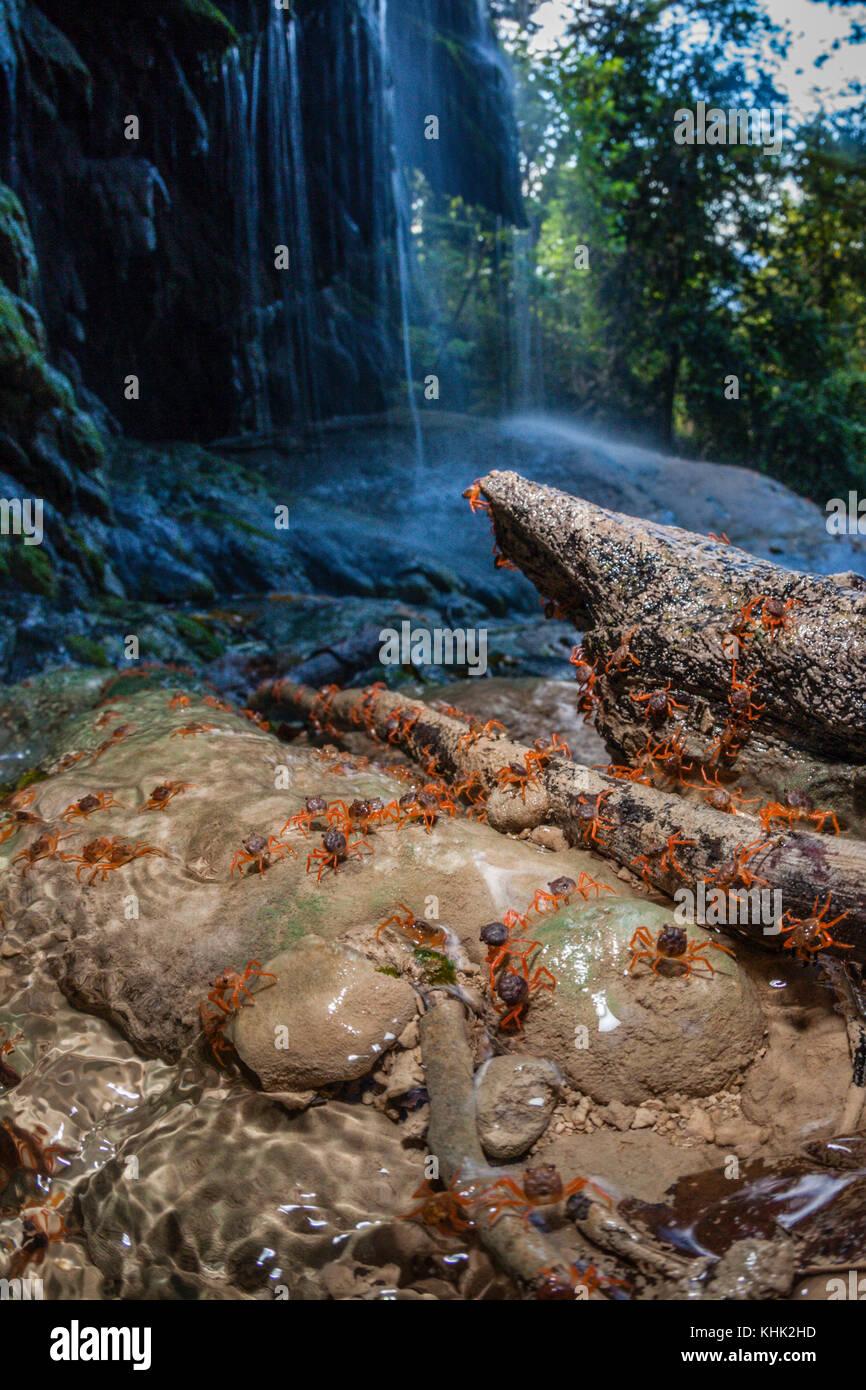 Kinder Krabben erreichen Hughes Dale Wasserfall, Gecarcoidea natalis, Christmas Island, Australien Stockbild