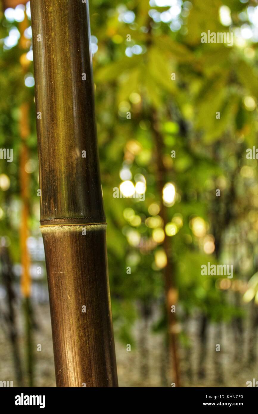 Phyllostachys nigra, Schwarzer Bambus im Garten, Valencia Stockbild
