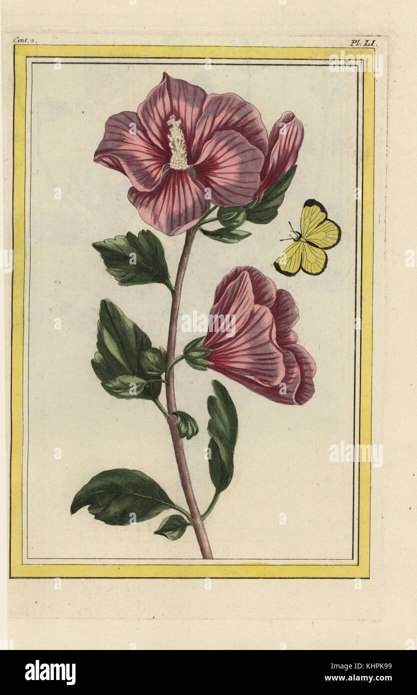 L\'Althea en Arbre. Rose Mallow, Hibiscus syriacus. Getrübt Schwefel ...
