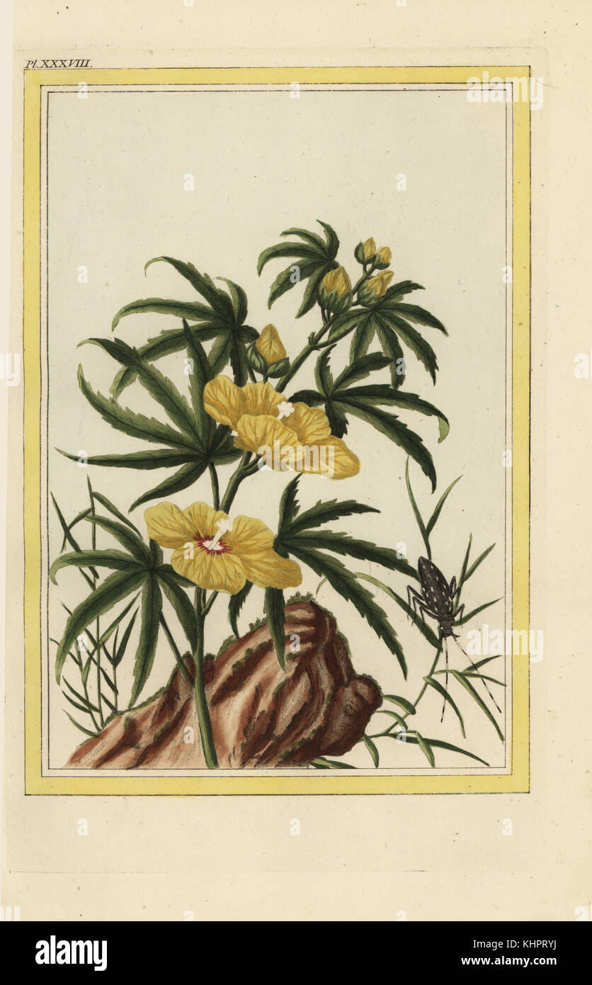 Hibiscus Manihot Stockfotos & Hibiscus Manihot Bilder - Alamy