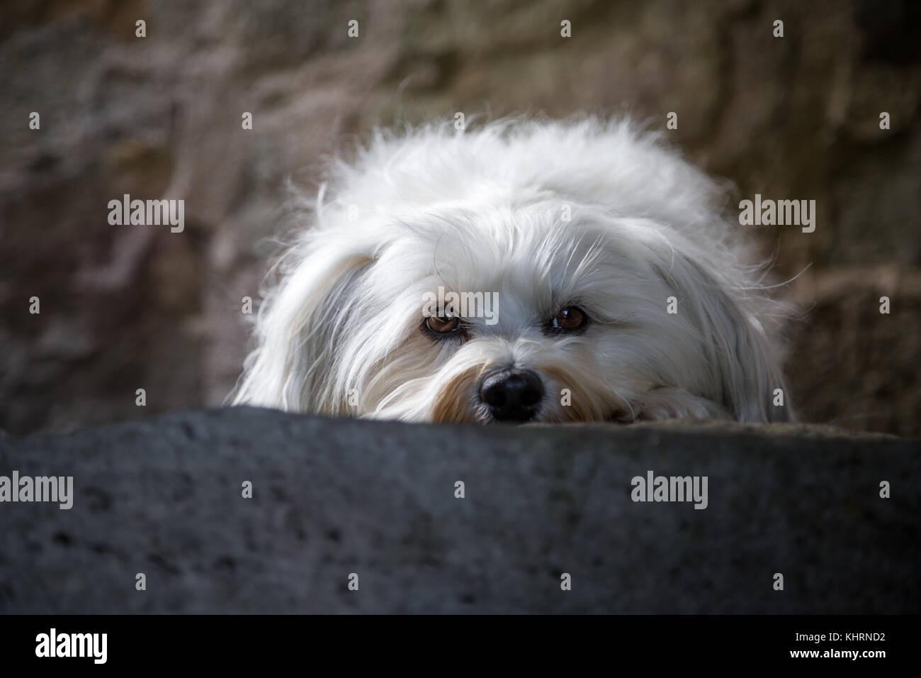 Ein kleiner weißer Hund Balatonfüred in einer steinstufe und blickt in die Kamera. Stockfoto