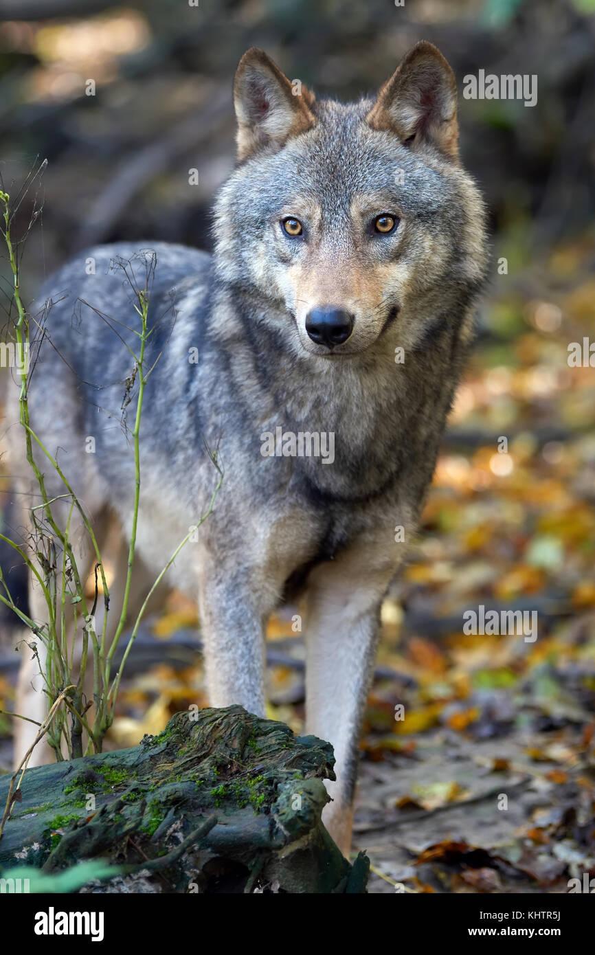 Timber Wolf Jagd in den Wald Stockbild