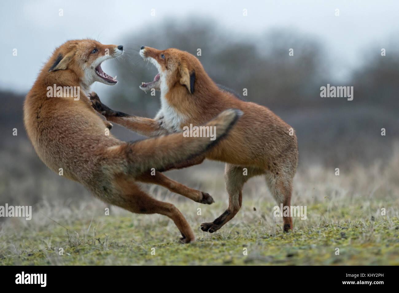 Red Foxes (Vulpes vulpes), zwei Erwachsene in aggressiven kämpfen, kämpfen, droht mit weit geöffnetem Stockbild