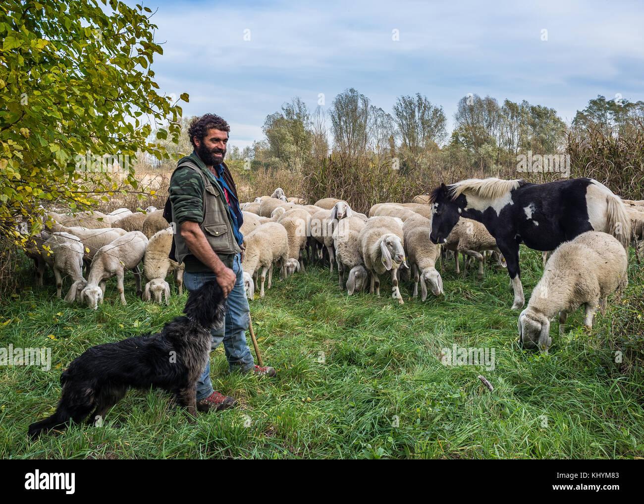 Reportage der Schafe - Landwirtschaft in der bergamasca Ebene. Brambilla Simone leben Nachrichten Stockbild