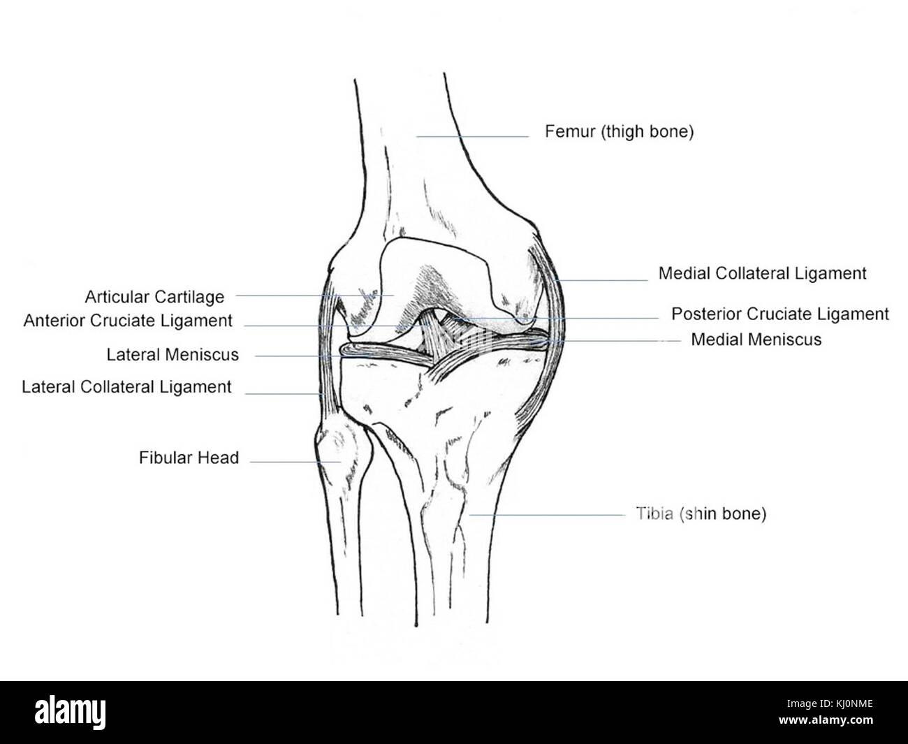 Knee Anatomy Stockfotos & Knee Anatomy Bilder - Alamy