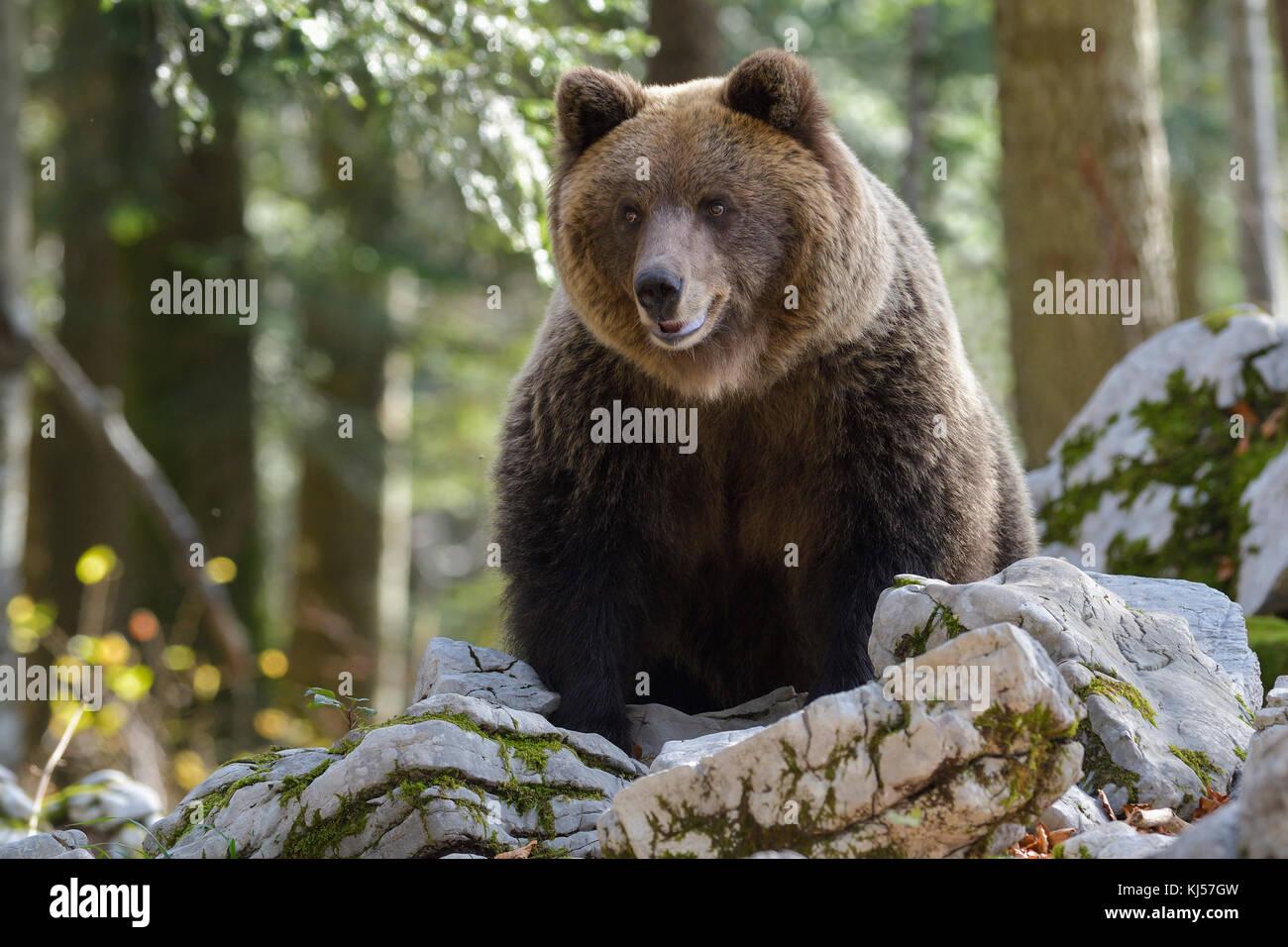 Europäische Braunbären oder eurasischer Braunbär (Ursus arctos arctos), tragen im Karst Wald, notranjska, Slowenien Stockfoto