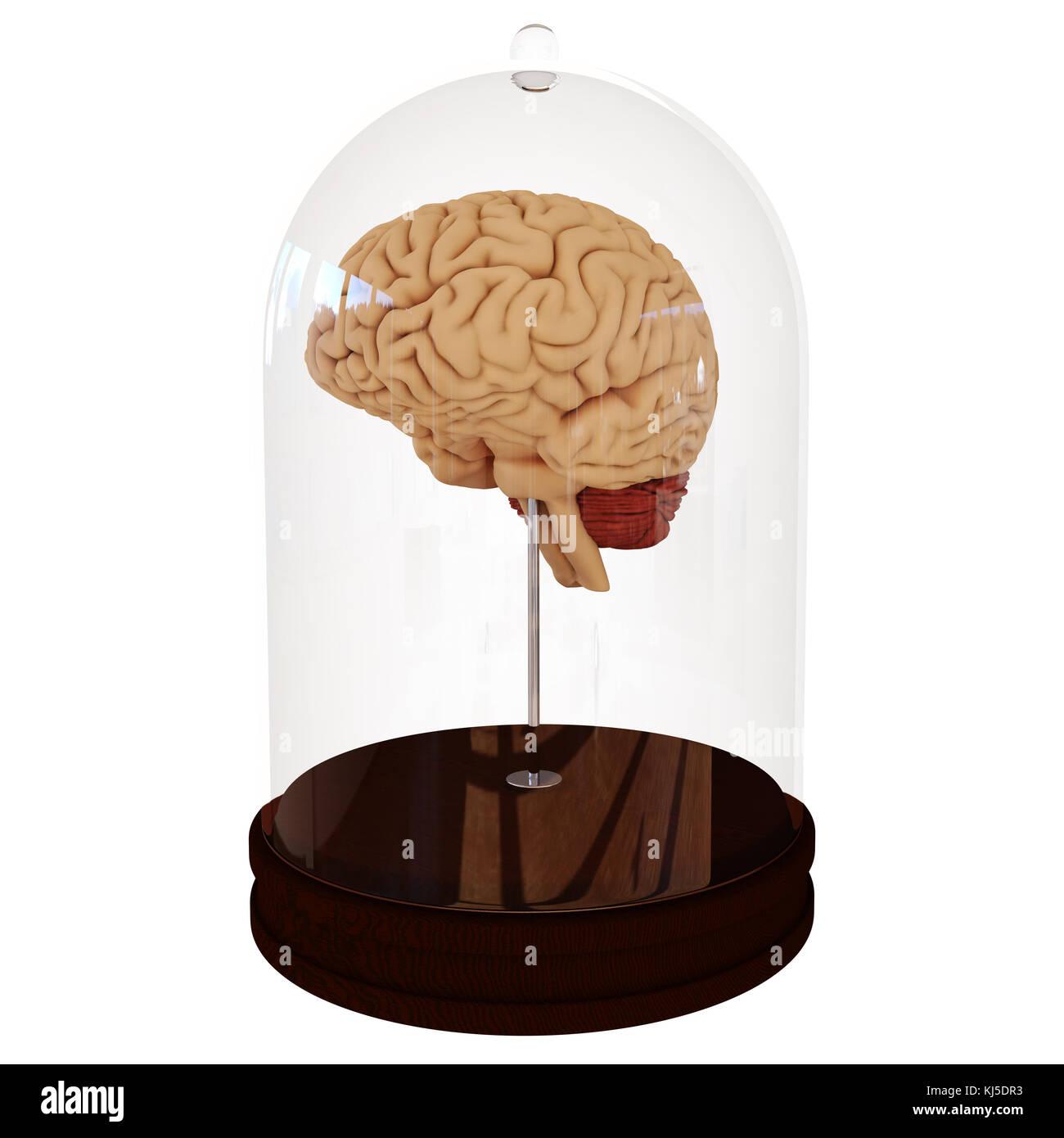 Beste Anatomie Des Menschlichen Gehirns Atlas Galerie - Menschliche ...