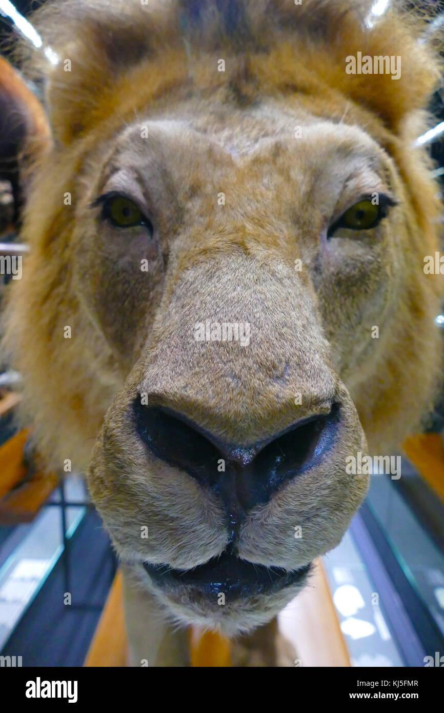Beispiel für African Lion Taxidermy. Taxidermy ist die Kunst der Vorbereitung, Füllung, und die Montage Stockbild