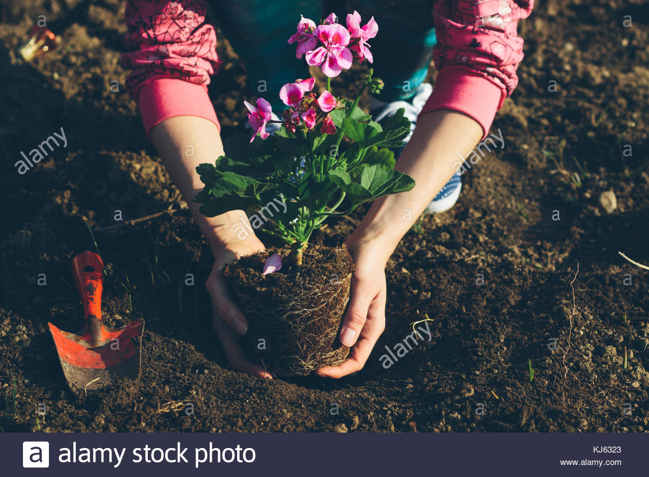 Hände das Einpflanzen einer Blume im Boden Stockbild