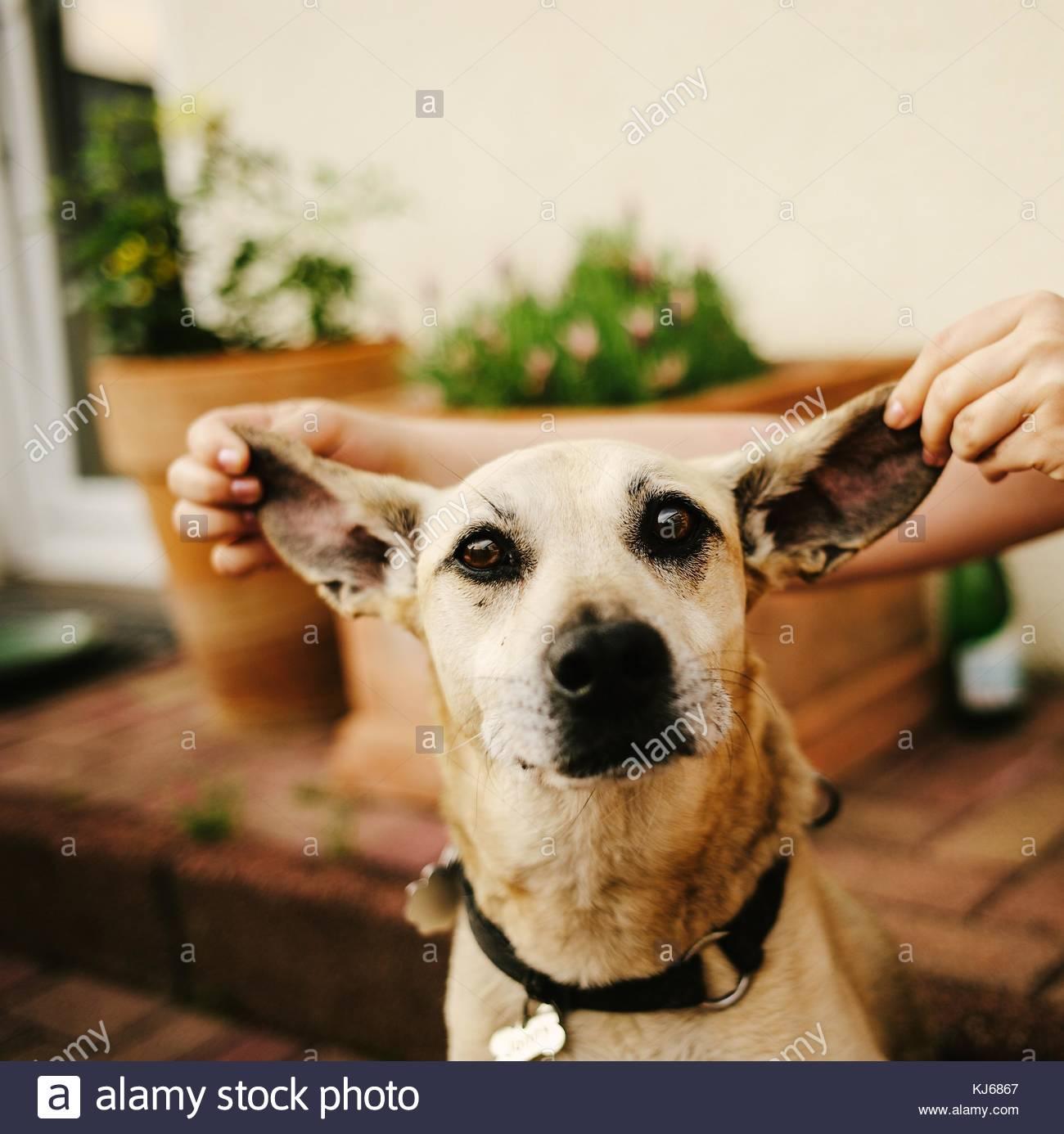Hund mit Ohren gezogen Breite Stockbild