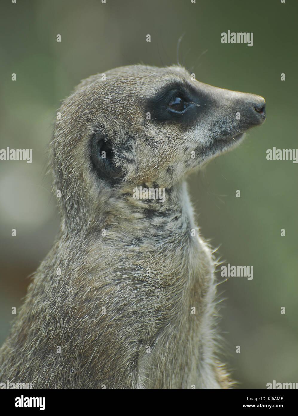 Porträt eines Erdmännchen im Zoo Stockbild