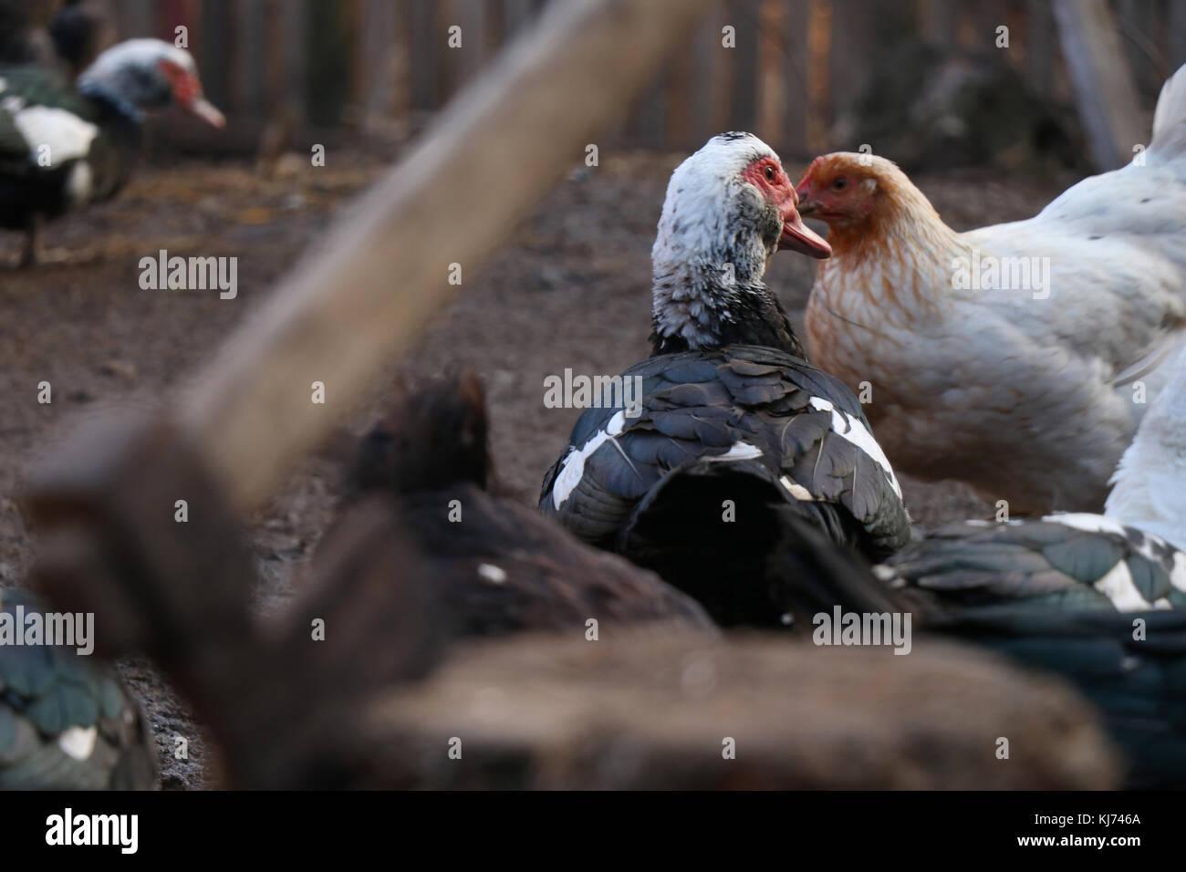 Eine Ente läuft von der Axt Szene Stockbild