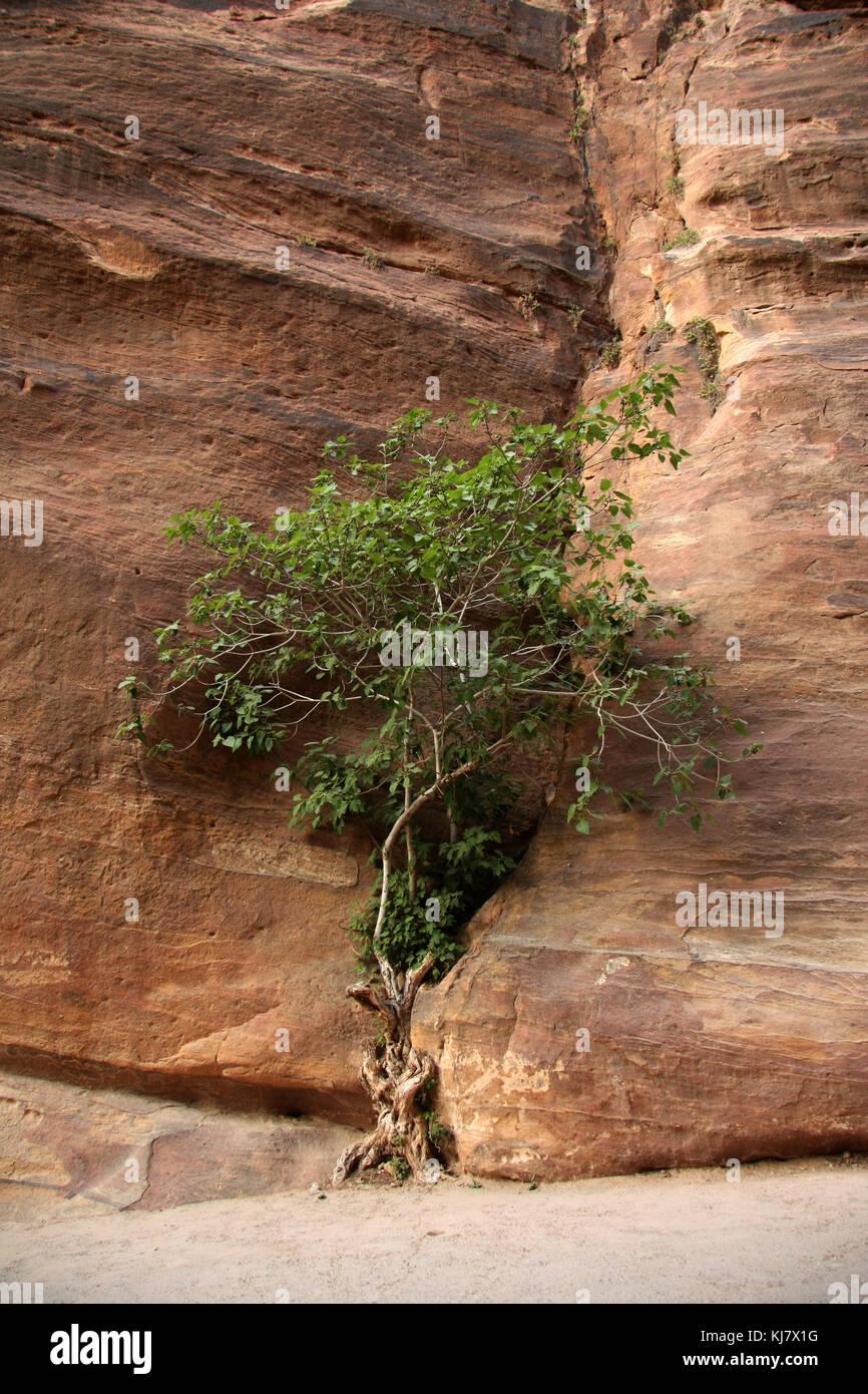 Baum in einer Felsspalte sehen sich wachsenden, as-siq, Petra Stockbild