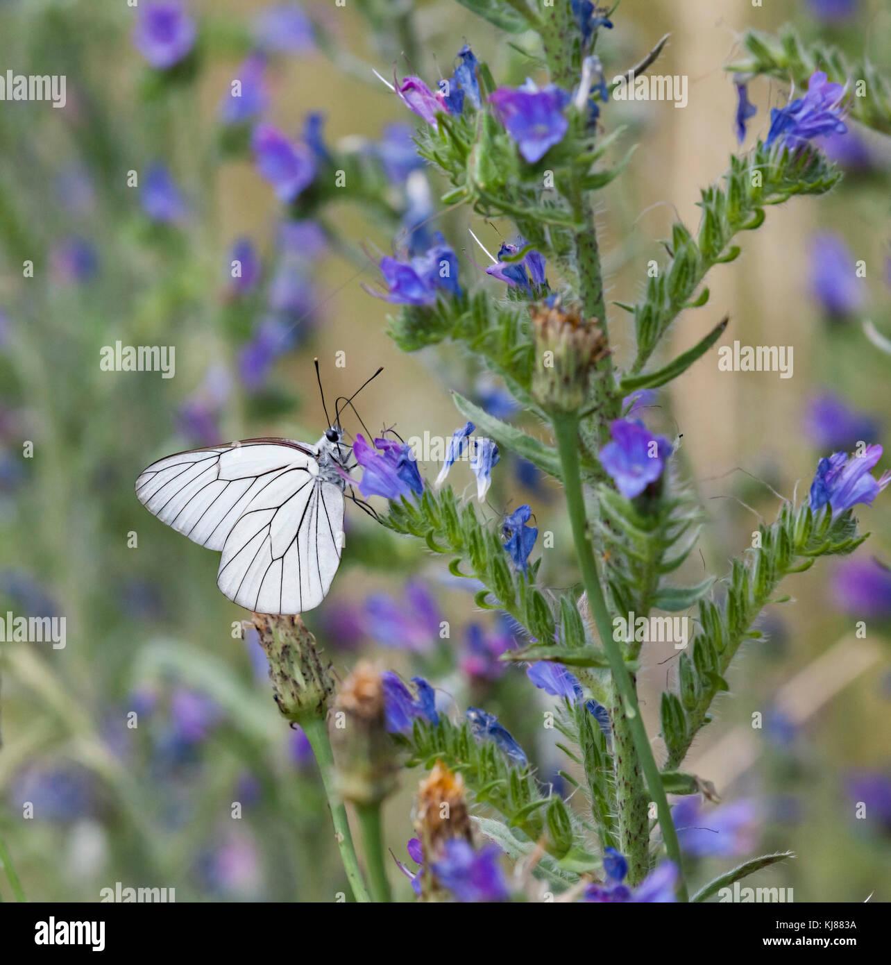 Schwarz geäderten White Butterfly Aporie crataegi aalen sich in der Sonne auf einer flowerhead an Riiaza in Stockbild