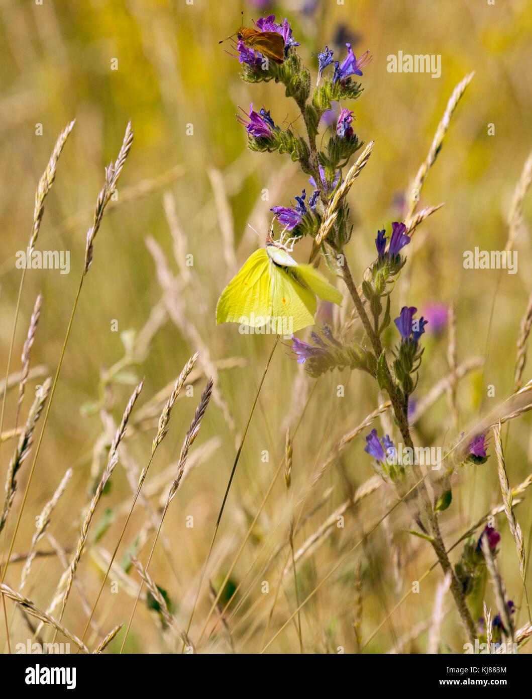 Zitronenfalter Gonepteryx rhamni Aalen in der Sonne mit seinen Flügeln wird geöffnet und zeigt die gelbe Stockbild