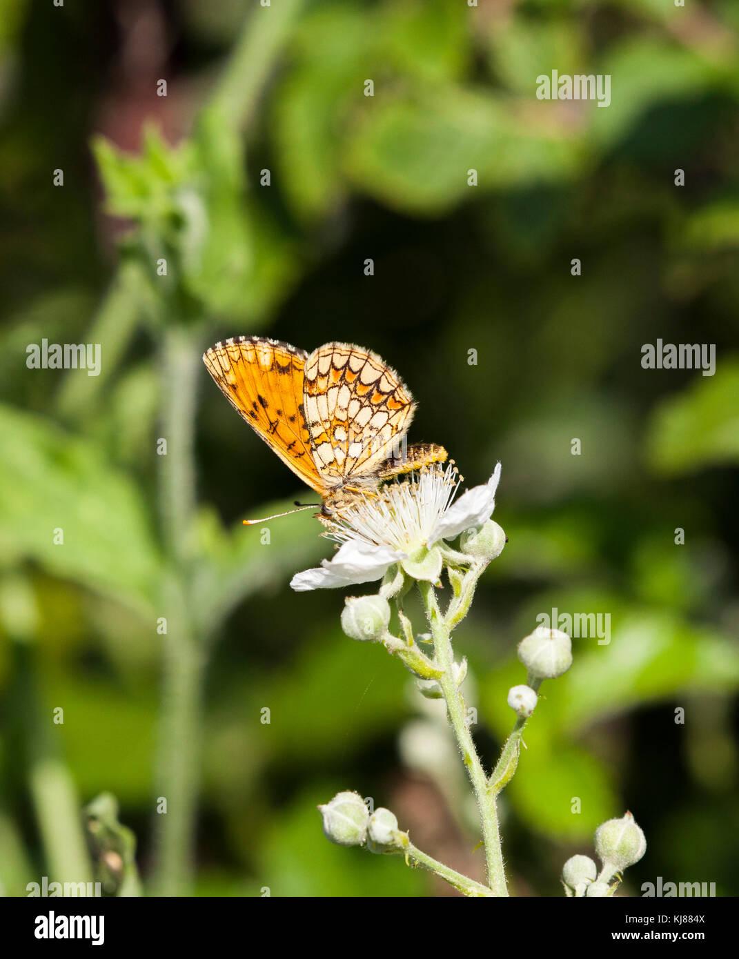 Heide Fritillaryschmetterling Mellicta athhalia aalen sich in der Sonne auf dem flowerhead von bramble Blüte Stockbild