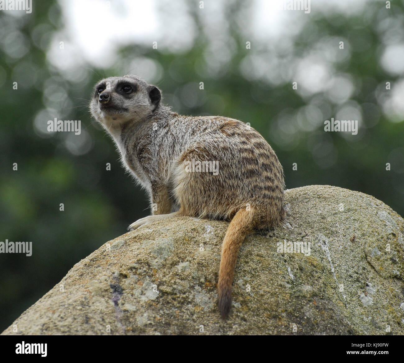 Ein Erdmännchen saß auf einem Felsen beobachten aufmerksam Stockbild