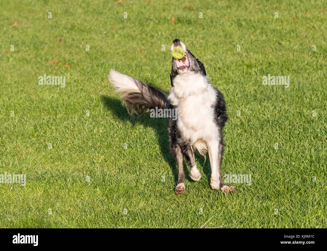 Ein Schäferhund spielen mit einem Ball und fangen Sie in den Mund. Stockbild
