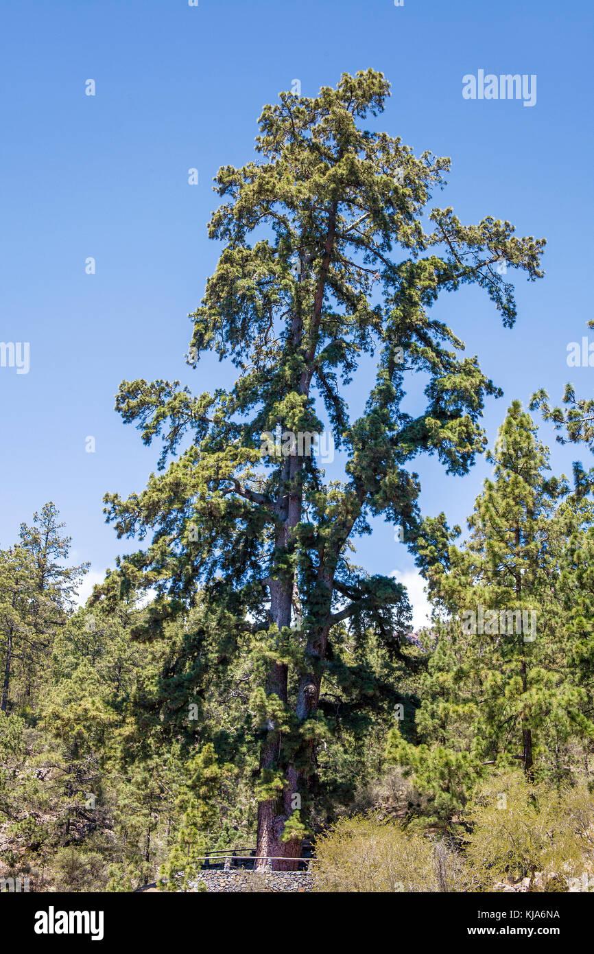 Größte Pine Tree auf den Kanarischen Inseln an (Pino de Las Dos pernadas), Teneriffa, Kanarische Inseln, Stockbild