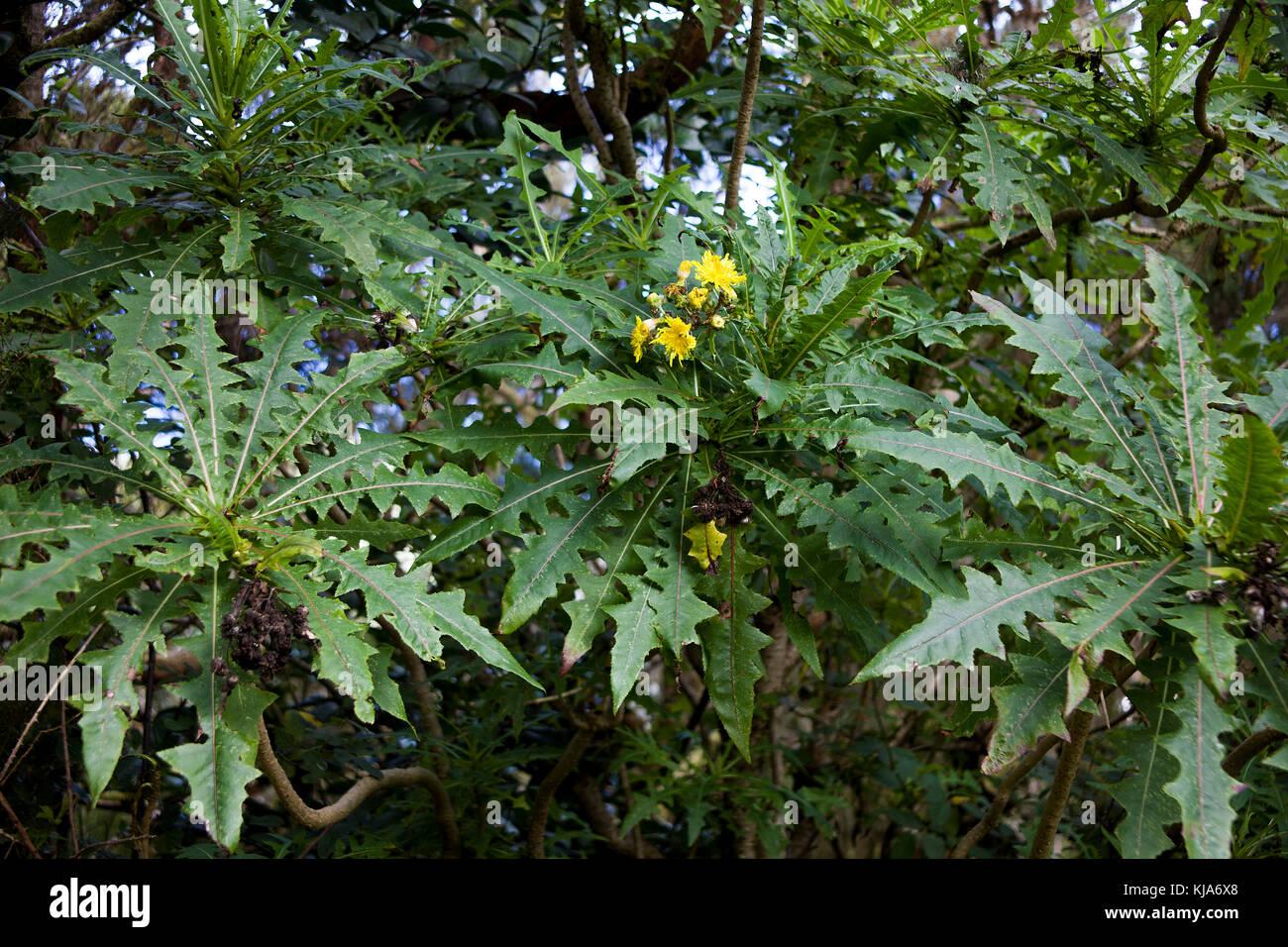Kanaren - gaensedistel, Kanarische riesigen sowthistle (sonchus canariensis), anagagebirge, Teneriffa, Kanarische Stockfoto