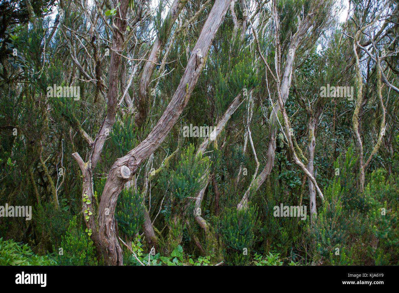 Lorbeerwald im Anagagebirge, Cruz del Carmen, Nordseite der Insel, Teneriffa, Kanarische Inseln, Spanien Stockbild