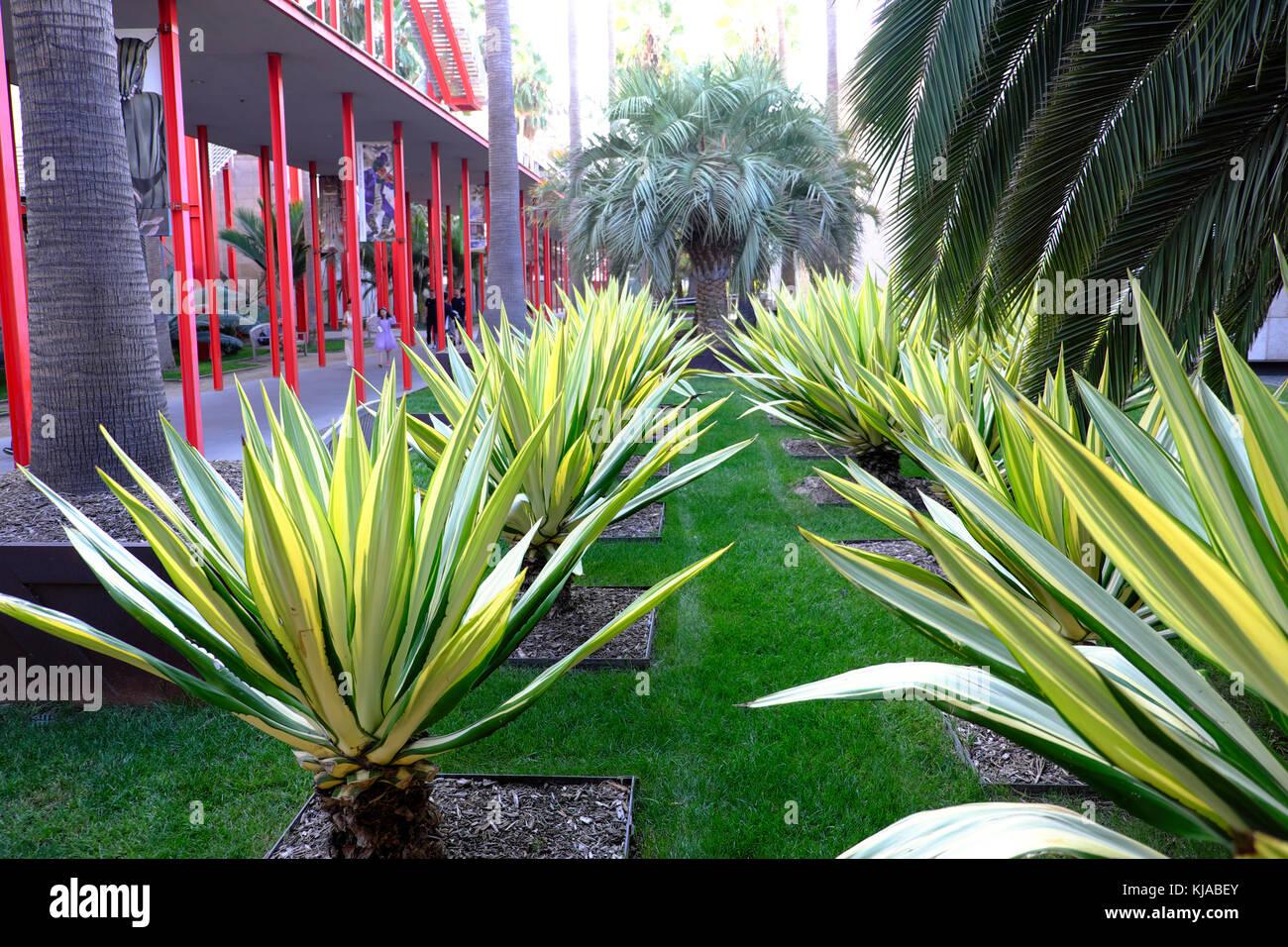 Yucca Pflanzen im LACMA Palm Garden neben Gehweg zu Broad Contemporary Art Museum, Wilshire Blvd Miracle Mile Los Stockfoto