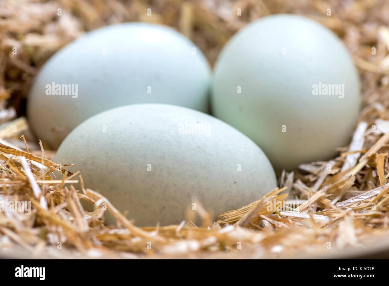 Drei Blaue Eier In Einem Nest Aus Heu Die Thesen Rassen Legbar