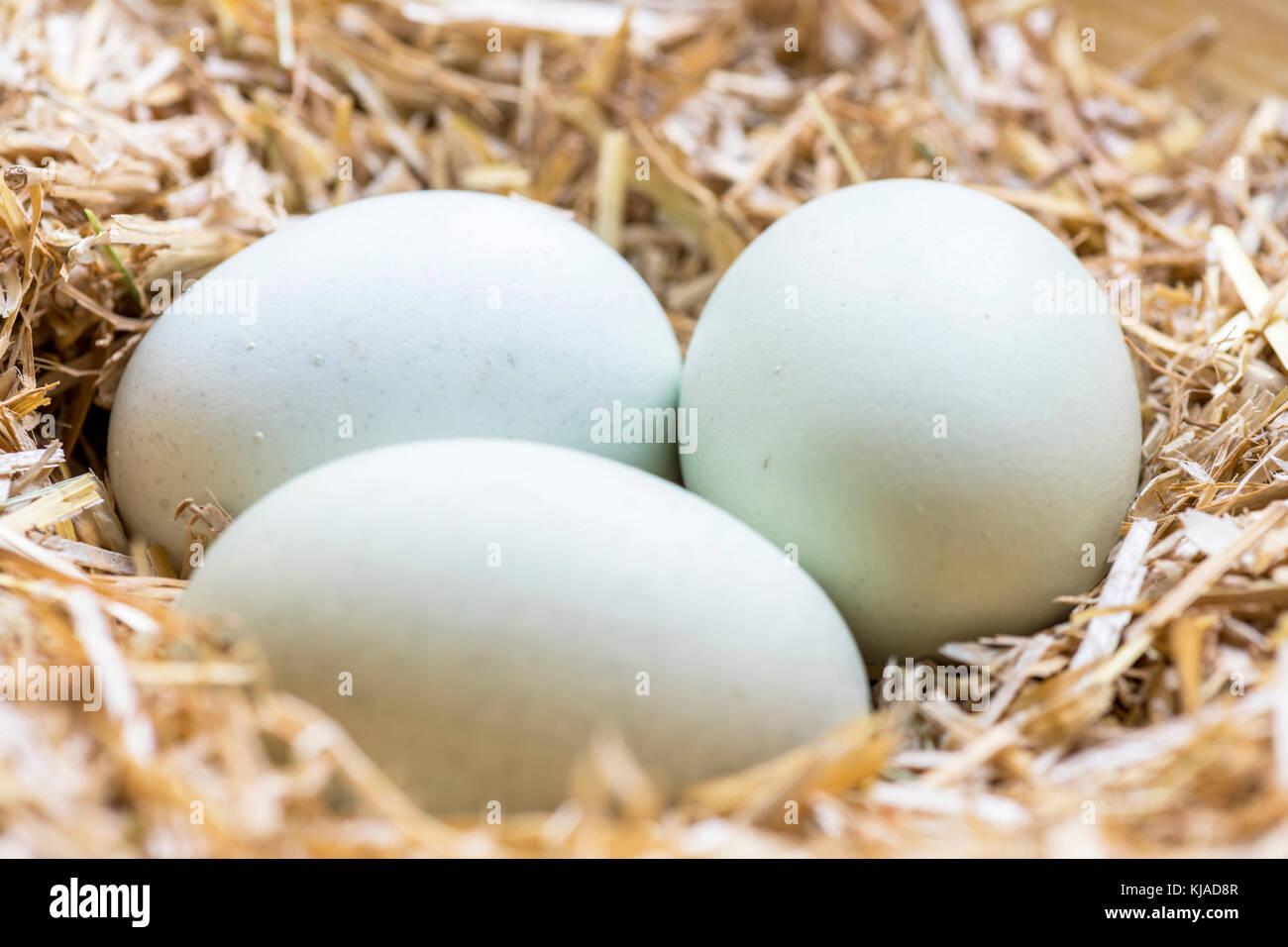 Gruppe Der Blaue Eier In Einem Nest Aus Heu Die Thesen Rassen