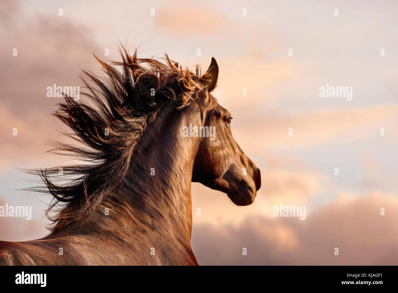 Spanische Pferd, Andalusische. Portrait von Dun Hengst im Abendlicht. Schweiz Stockfoto