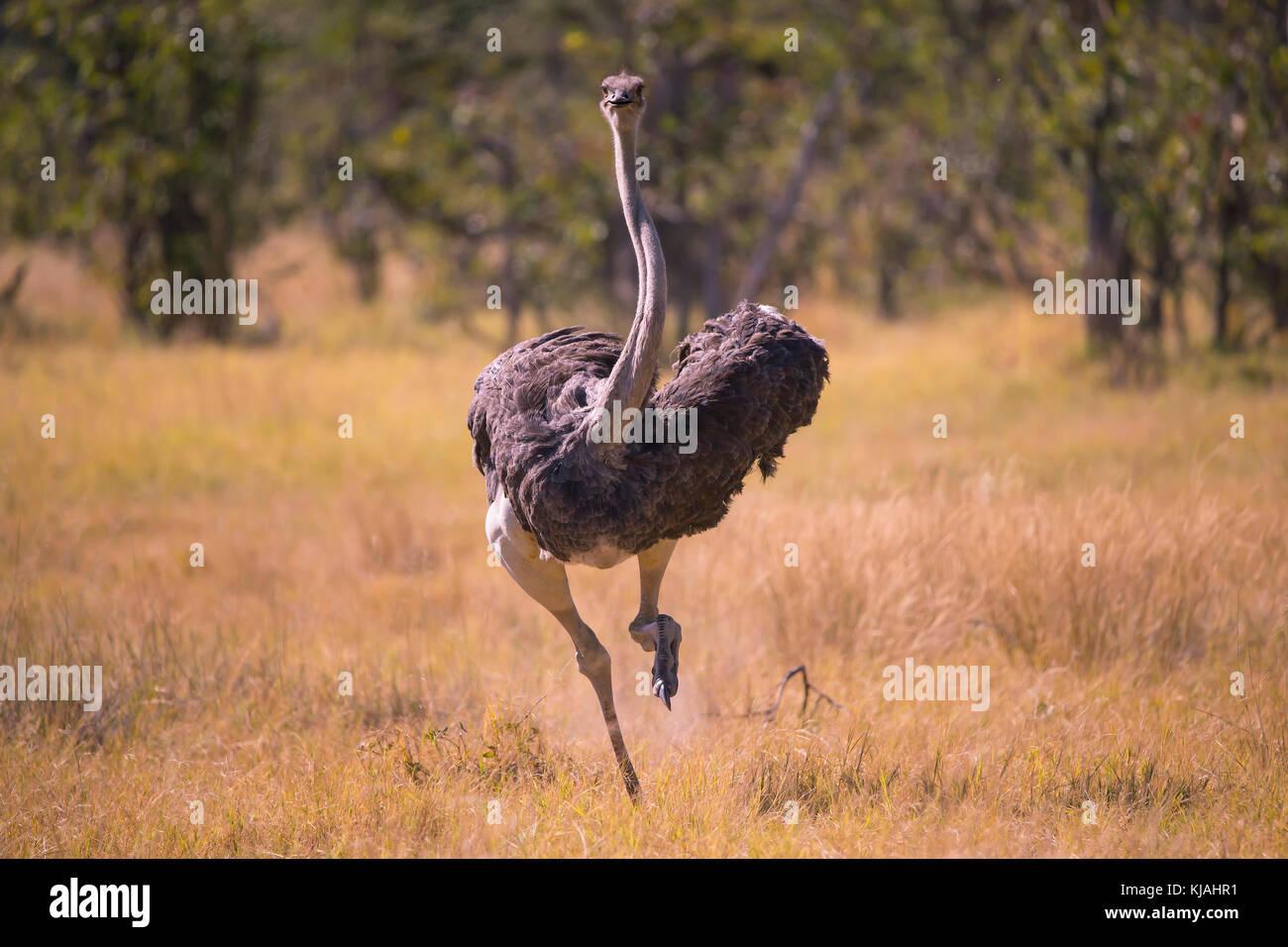 Strauß Struthio Camelus Weibliche Läuft Auf Den Betrachter