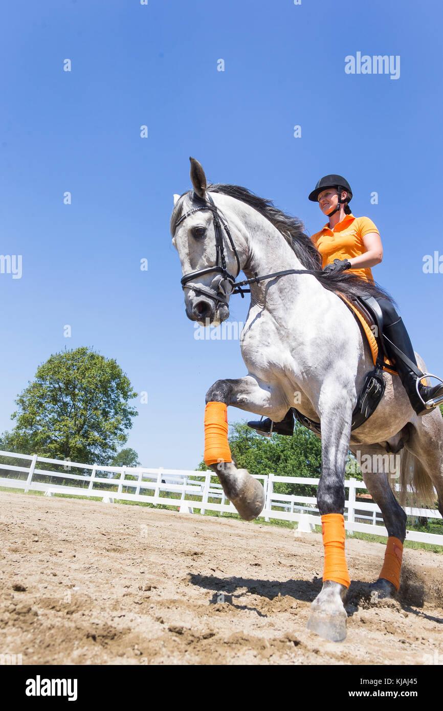 Reine Spanische Pferd, Andalusische. Reiter auf juveniler grauer Hengst Galopp auf einem Reitplatz. Österreich Stockbild
