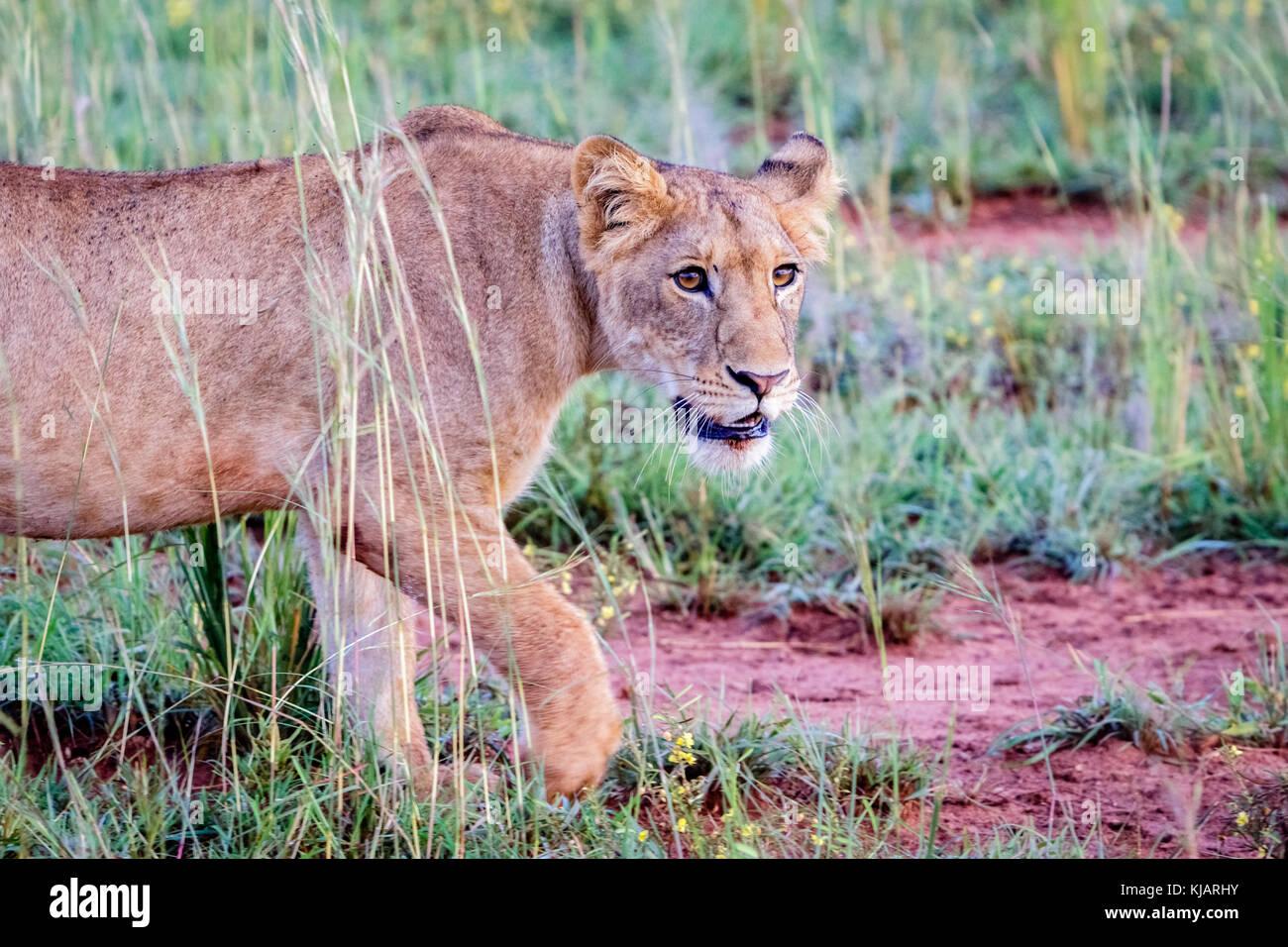 Eine schöne Löwin in der Sonne an einem frühen Morgen im Murchison Falls National Park in Uganda. Schade, dass dieser Stockfoto