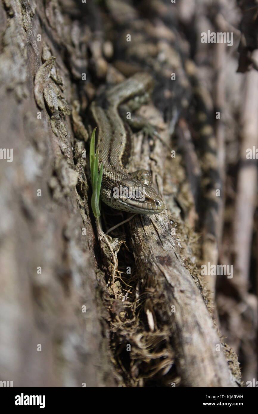 Lacerta Zootoca vivipara, gemeinsame Eidechse kommenden Fläche entlang einer liegenden Baumstamm, neben einem Keimenden gras Sämling. Stockfoto