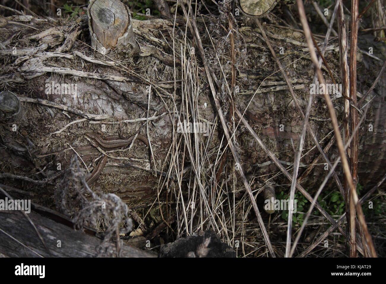 Lacerta Zootoca vivipara, 3 gemeinsame Eidechsen, 2 Jugendlichen und einem Erwachsenen, auf faulenden Baumstamm, auf dem Boden Stockfoto