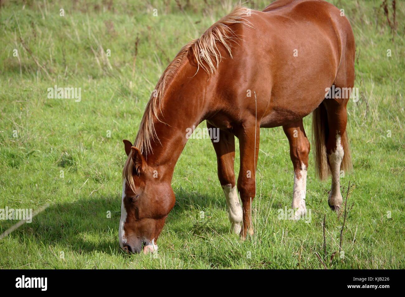 Ein Pferd auf einer Koppel Stockbild