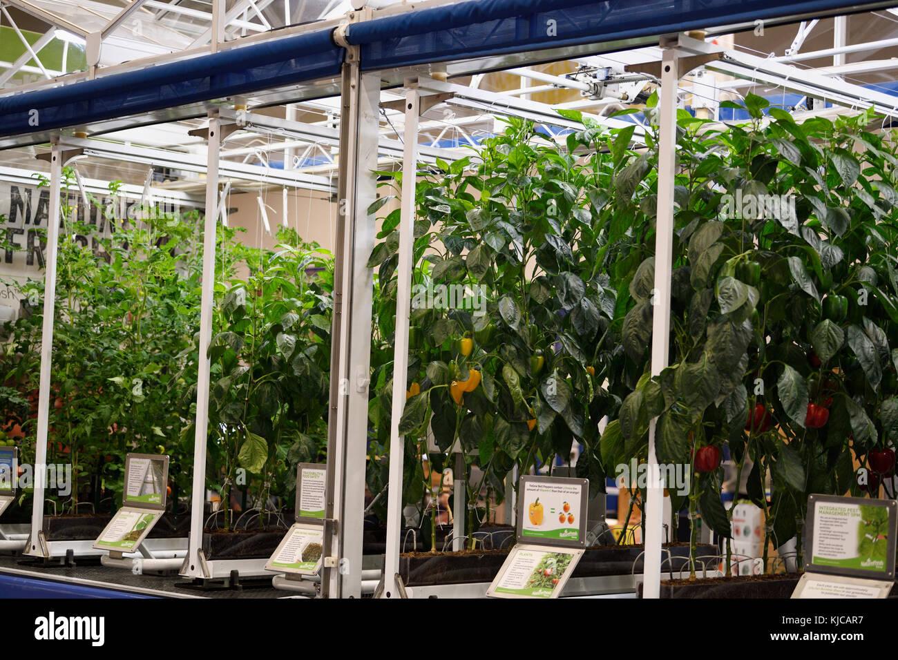 Hydroponisch Pfeffer Und Tomaten Pflanzen In Einem Gewachshaus Am